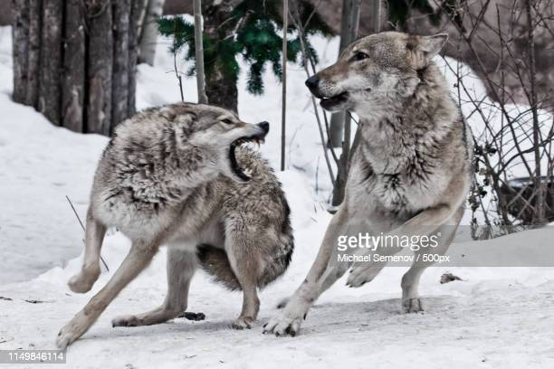 a female wolf snaps at a male wolf and he deftly dodges a bite - michael wolf stock photos and pictures