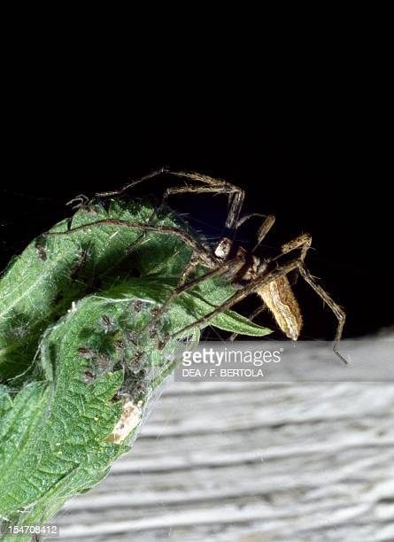 Female wolf spider with her young Lycosidae