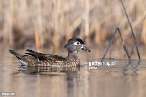 Female wood duck, aix sponsa, in springtime