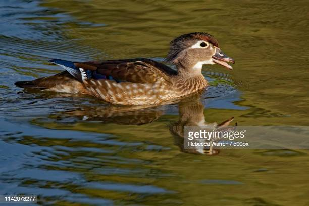 female wood duck calling - sponsa stock photos and pictures