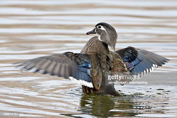 female wood duck (aix sponsa) flapping wings, rio grande zoo, albuquerque biological park, albuquerque, new mexico, united states of america, north america - sponsa stock photos and pictures