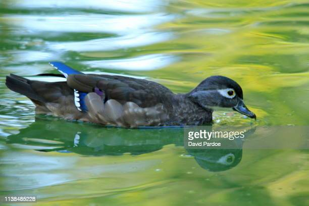 female wood duck (aix sponsa) - sponsa stock photos and pictures