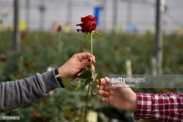 A female worker hands a rose to one another in a greenhouse ahead of Valentine's Day in Tarsus district of Mersin Turkey on February 12 2018 Female...