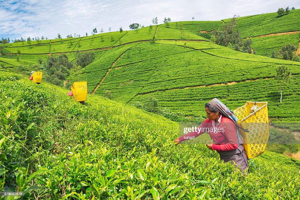 Female Worker in Tea Plantations of Sri Lanka : Stock Photo