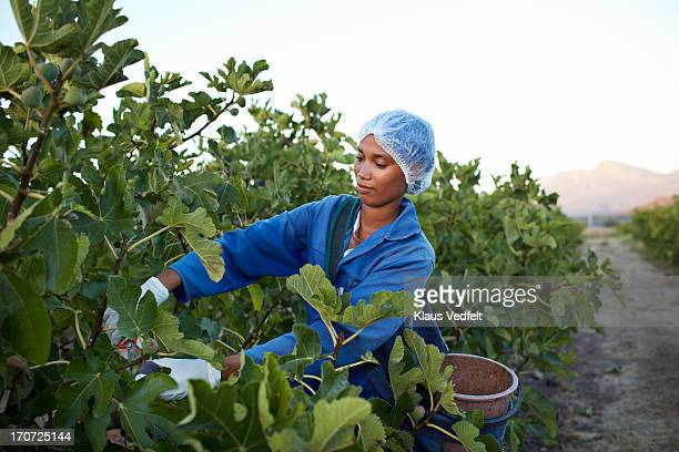 Female worker picking figs at plantation