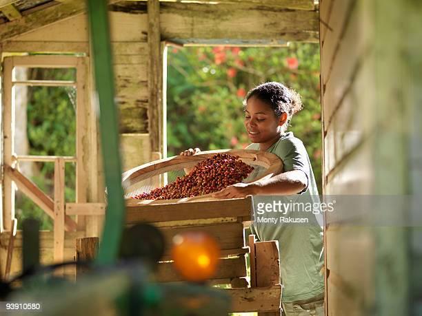 female worker processing coffee beans - café colheita imagens e fotografias de stock