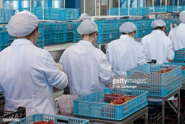 female workers at a strawberry processing line