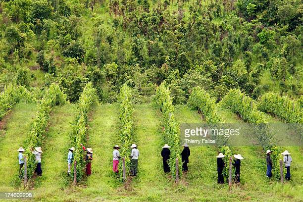 Female workers attend vine stocks at the Red Mountain vineyard