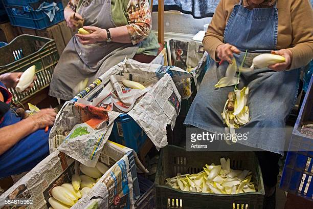 Female workers cleaning Belgian endive / French endive / witloof at market garden in Belgium