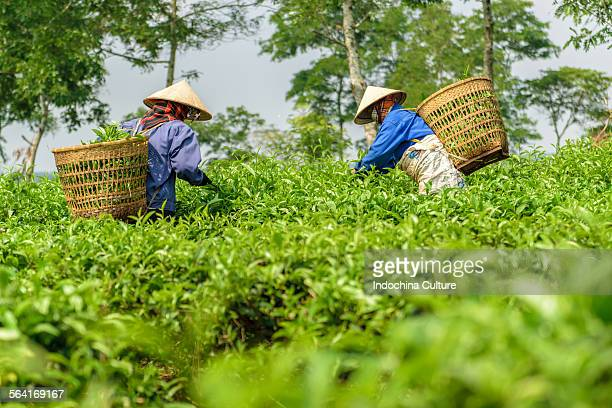 Female workers harvesting tea in plantation