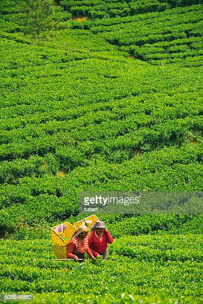 Female Workers in Tea Plantations of Sri Lanka