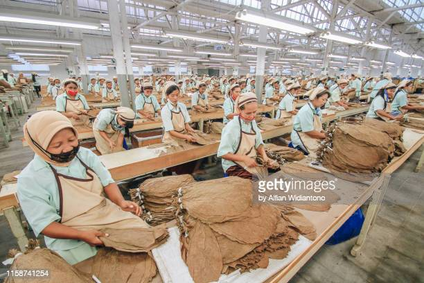 female workers in tobacco factory - east java province stock pictures, royalty-free photos & images