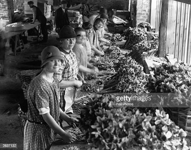 Female workers pack the daffodil harvest into bunches at Long Rock Cornwall