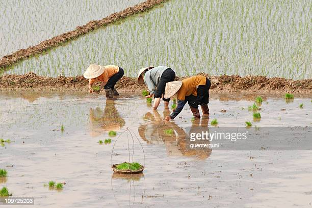 female workers planting rice in vietnam - vietnam stockfoto's en -beelden