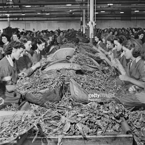 Female workers strip tobacco leaves from their stems by hand in the stemming room at a cigarette factory in England during World War II on 21st July...