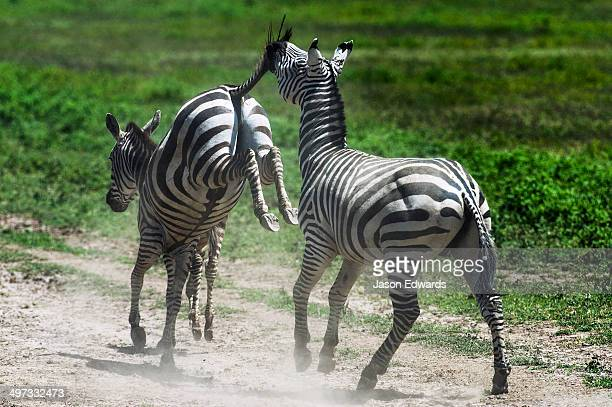 A female Zebra kicks a male with her hooves as he attempts to mount and mate.