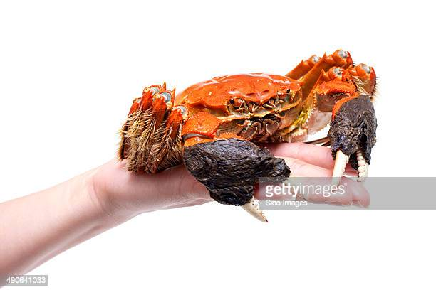 female'hand holding ripe hairy crab - crab leg stock photos and pictures