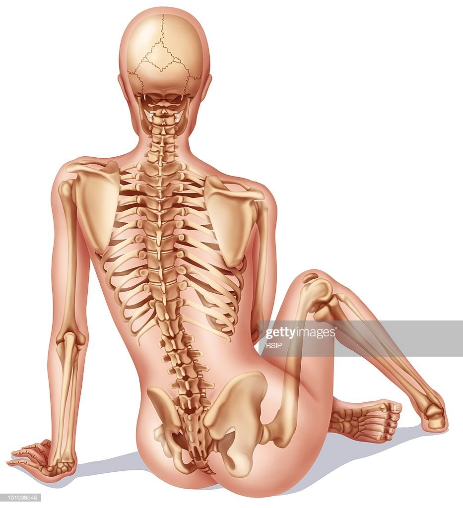 Skeleton illustration pictures getty images feminine skeleton rear view ccuart Image collections