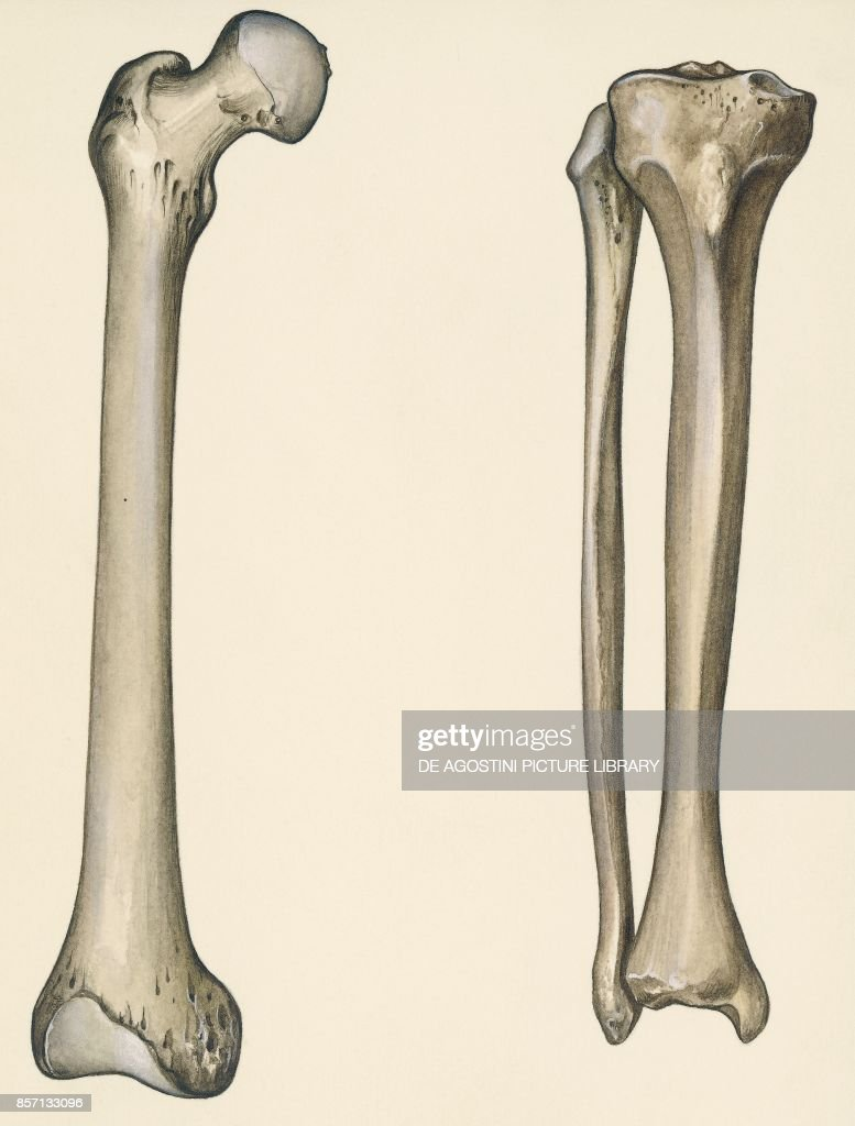 Femur Stock Photos And Pictures Getty Images
