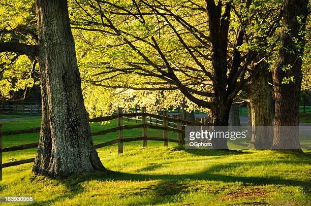 fence and maple trees in spring - ogphoto stock photos and pictures