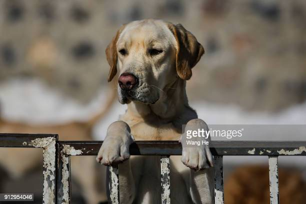 A Guide dog leans on the railing in China Guide Dog Training Center on January 24th 2018 in Dalian Liaoning province China DALIAN CHINA JANUARY 24...