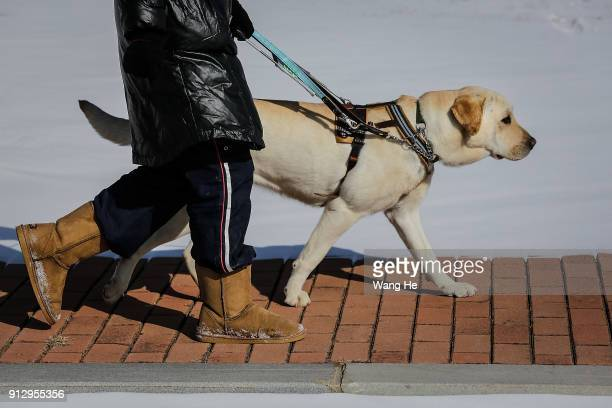 Fenghongying 48 of Chinesewho is legally blindher is training with Guide Dog in China Guide Dog Training Center on January 24th 2018 in Dalian...