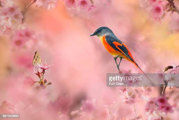 fengyuan,taiwan - songbird stock pictures, royalty-free photos & images