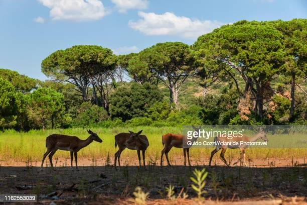 feniglia pinewood, fawns - image stock pictures, royalty-free photos & images