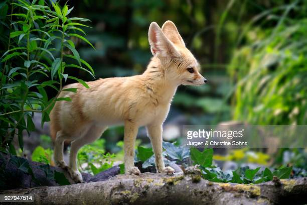 fennec, fennec fox (vulpes zerda), adult, watchful, captive, occurrence north africa - fennec photos et images de collection