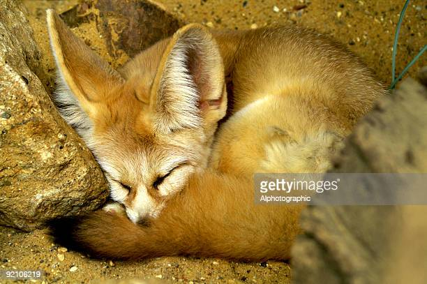 fennec fox asleep - fennec fox stock photos and pictures