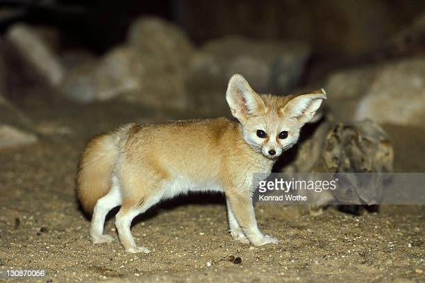fennec fox (canis zerdus), desert, africa - fennec fox stock photos and pictures
