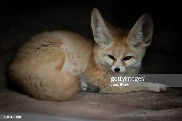 A fennec fox is seen during the opening of the African Savannah precinct at Taronga Zoo on June 28 2020 in Sydney Australia The new African Savannah...