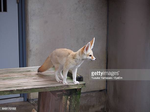 fennec fox on table against building - fennec fox stock photos and pictures