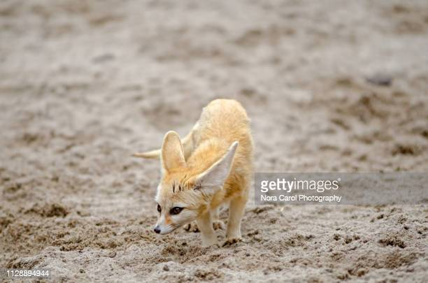 fennec fox or vulpes zerda - fennec fox stock photos and pictures