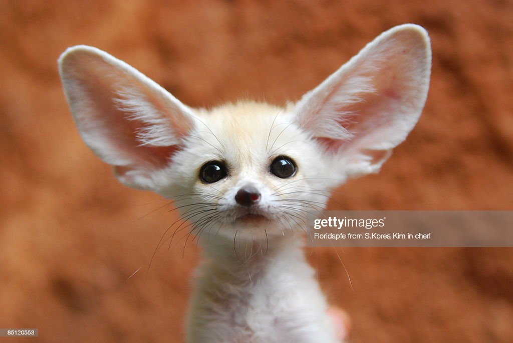 Fennec fox : Stock Photo