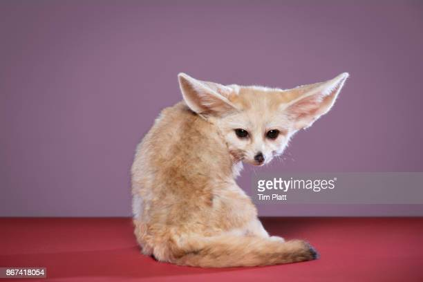 fennec fox - fennec fox stock photos and pictures