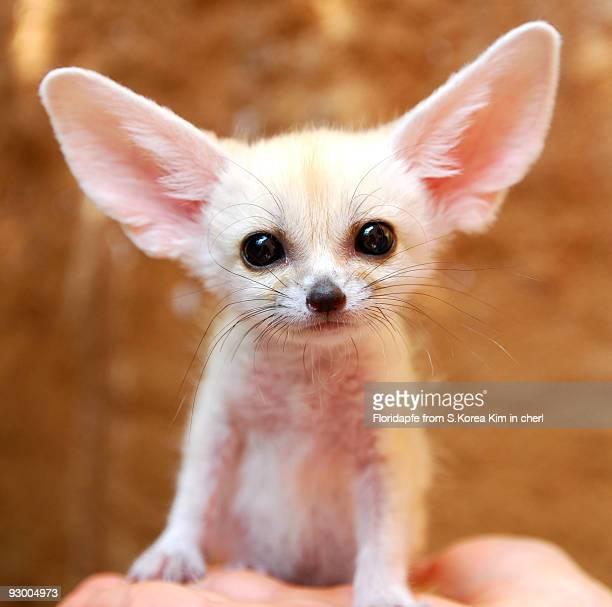 fennec fox - fennec photos et images de collection