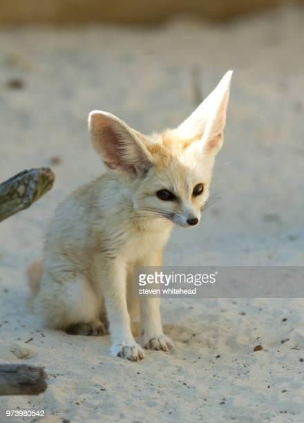 fennec fox ( vulpes zerda ) - fennec photos et images de collection