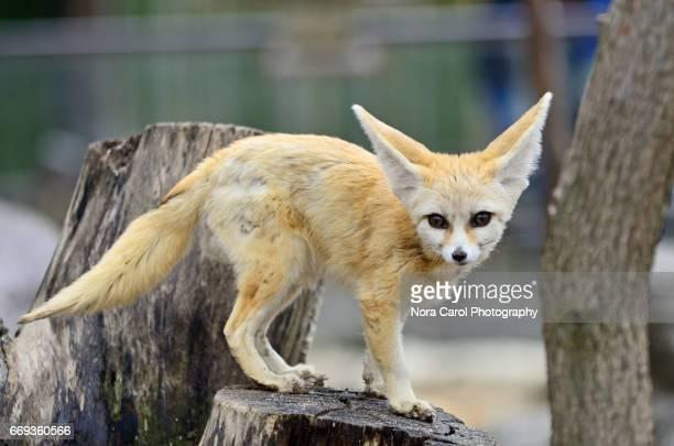 fennec fox vulpes zerda - fennec fox stock photos and pictures