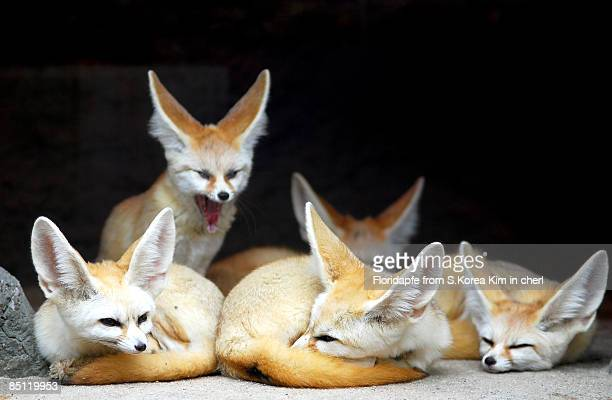 fennec foxes - fennec fox stock photos and pictures