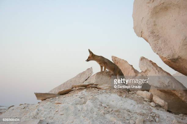 fennec (vulpes zerda) on a gypsum rock formation - fennec fox stock photos and pictures