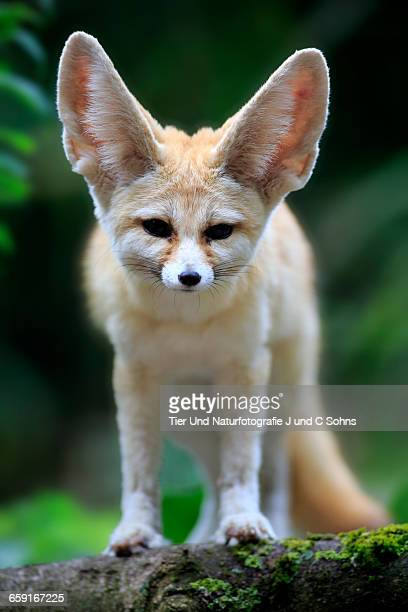 fennec, (vulpes zerda) - fennec fox stock photos and pictures