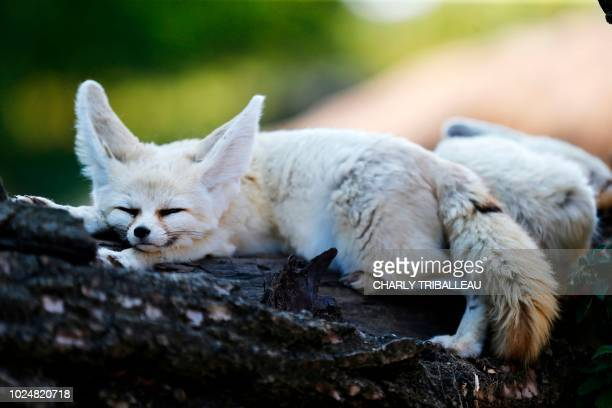 A fennec sleeps in the enclosure at the Biotropica Zoo in ValdeReuil on August 28 2018