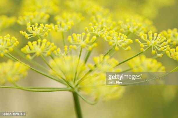 Fennel blossom (Foeniculum vulgare), close-up