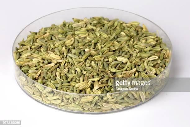 Fennel Plant Seeds (Foeniculum vulgare)