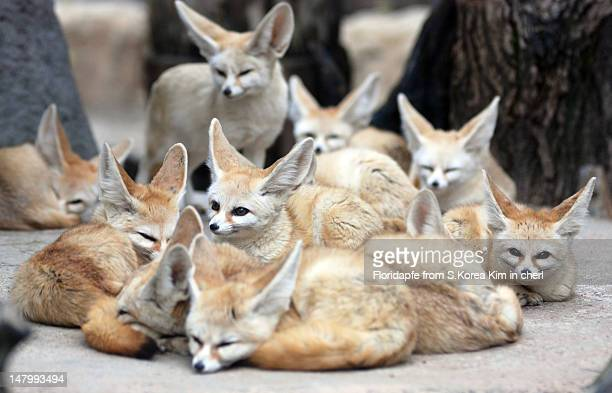 fennex fox - medium group of animals stock pictures, royalty-free photos & images