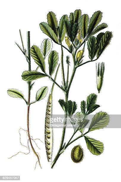 Fenugreek trigonella foenum graceum