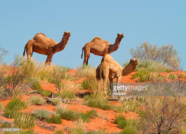 Feral camels, Camelus dromedarius, on sand dune. Near Boulia, central west Queensland, Australia.