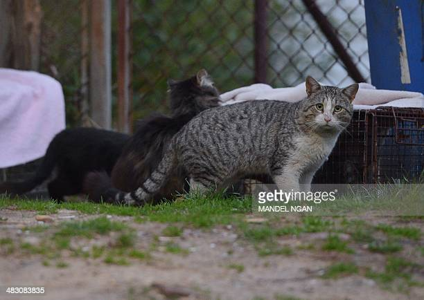 Feral cats gathered around a baited trap in a northeast Washington DC neighborhood on April 4 2014 The Washington Humane Society traps spays or...
