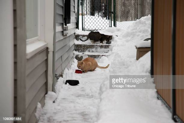 Feral cats near the Chicago home of Laurie Maxwell of PAWS Chicago appear after she put out food for them on Monday Jan 28 2019